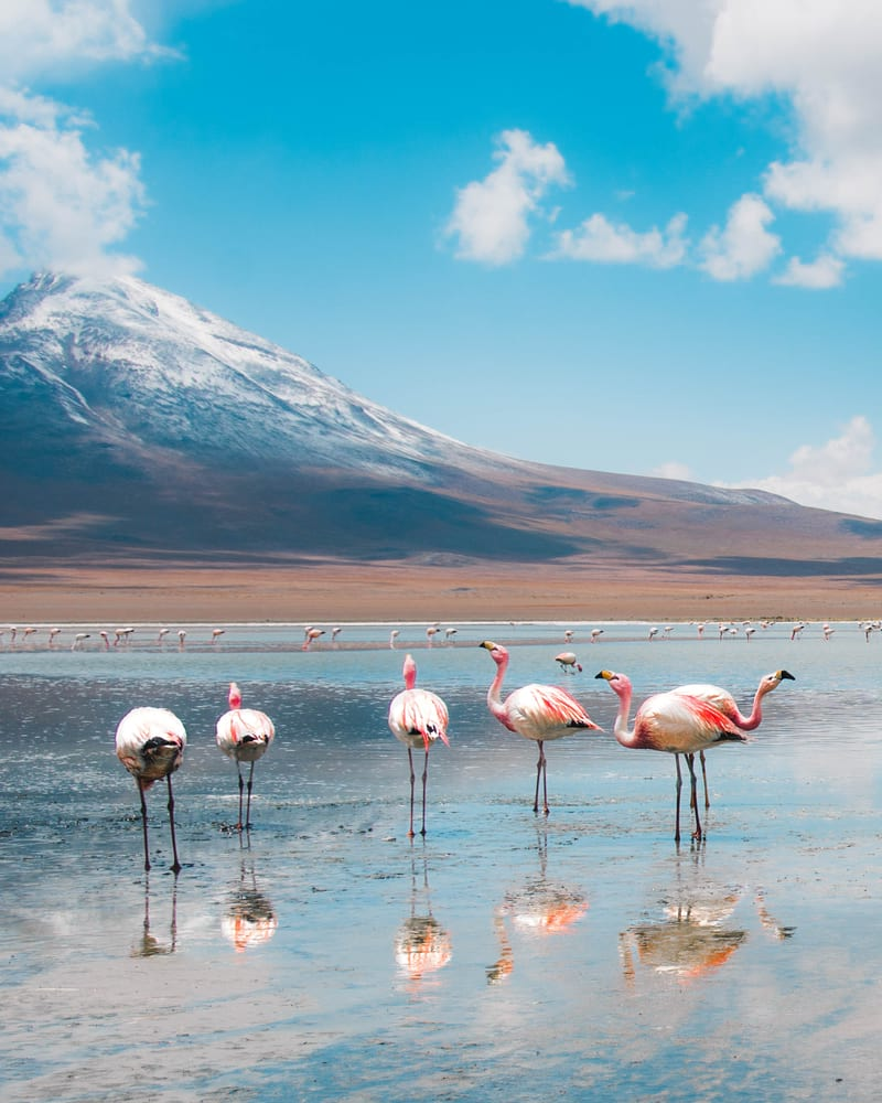 flamingos in the deserts of bolivia