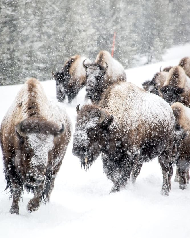 bison in winter rocky mountains