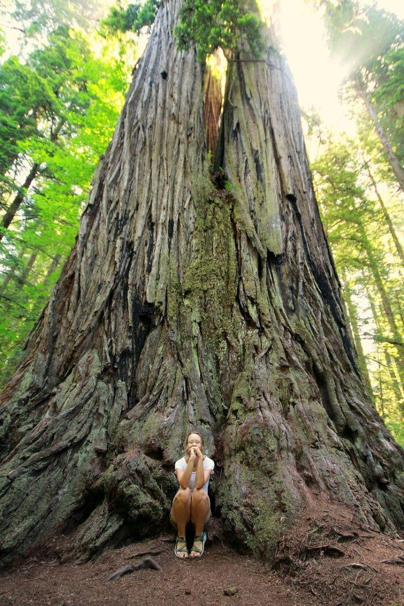 The Big Tree Loop Redwoods