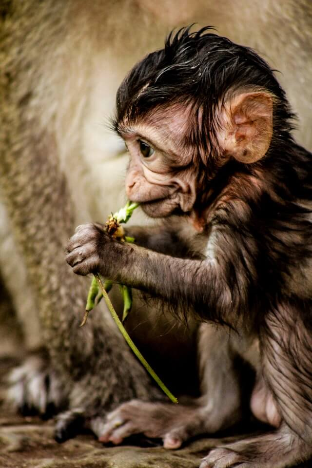 A baby monkey at a famous point of interest in Cambodia