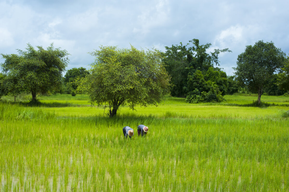 Farmers in a rice paddy field in the Battambang Province of Cambodia