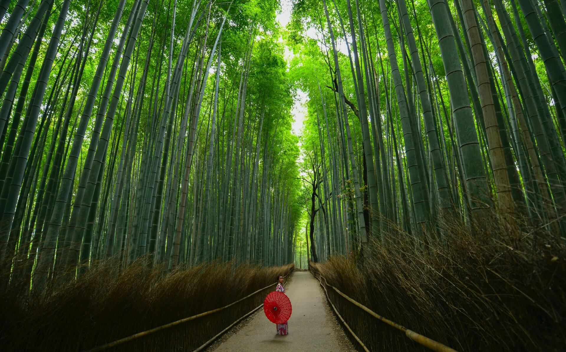 A traveller entering Arashiyama Bamboo Grove, Kyoto - a top sight in Japan to see