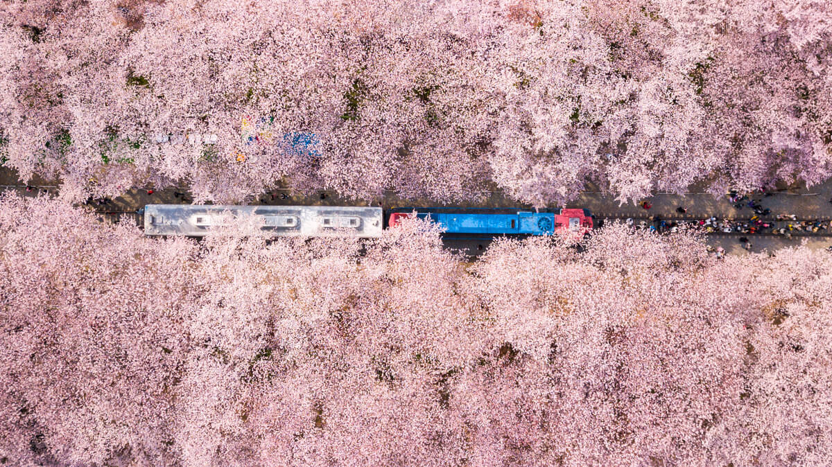 A public train in South Korea flanked by chery blossoms