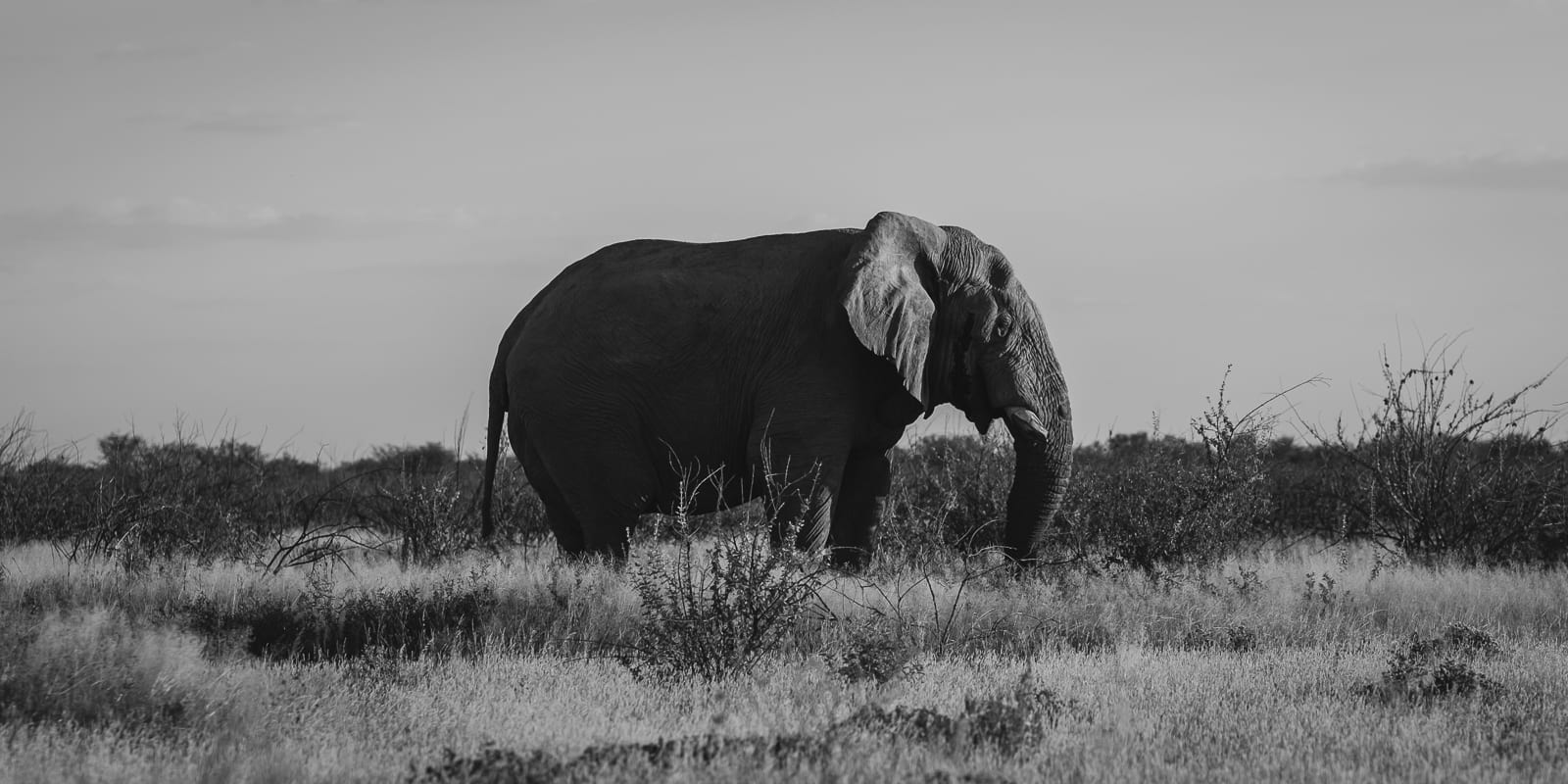 elephant in etosha park namibia