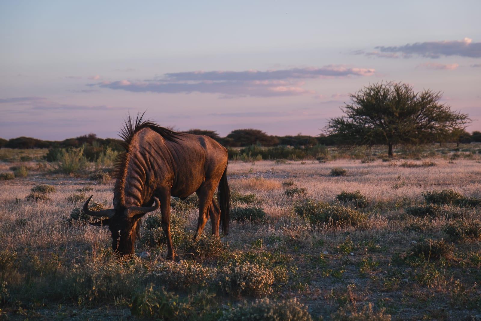 wildebeest in etosha national park namibia