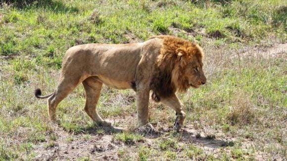 Lion in Maasai Mara