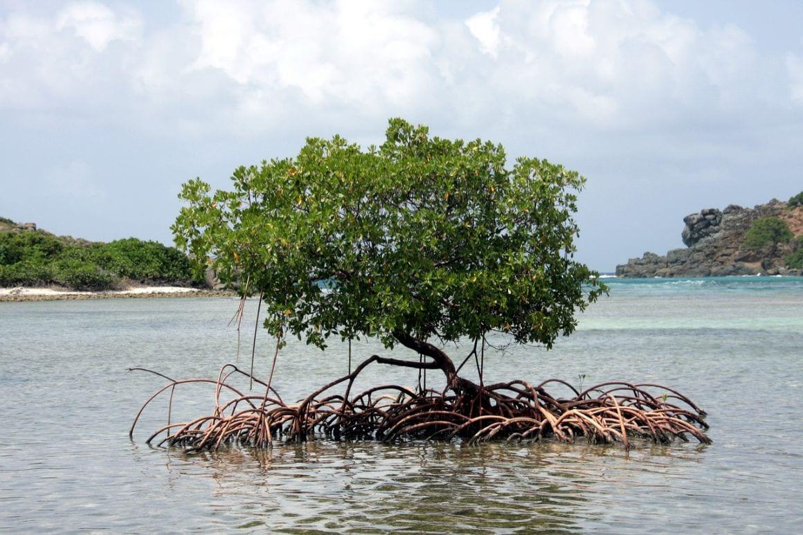 Mangrove British Virgin Islands