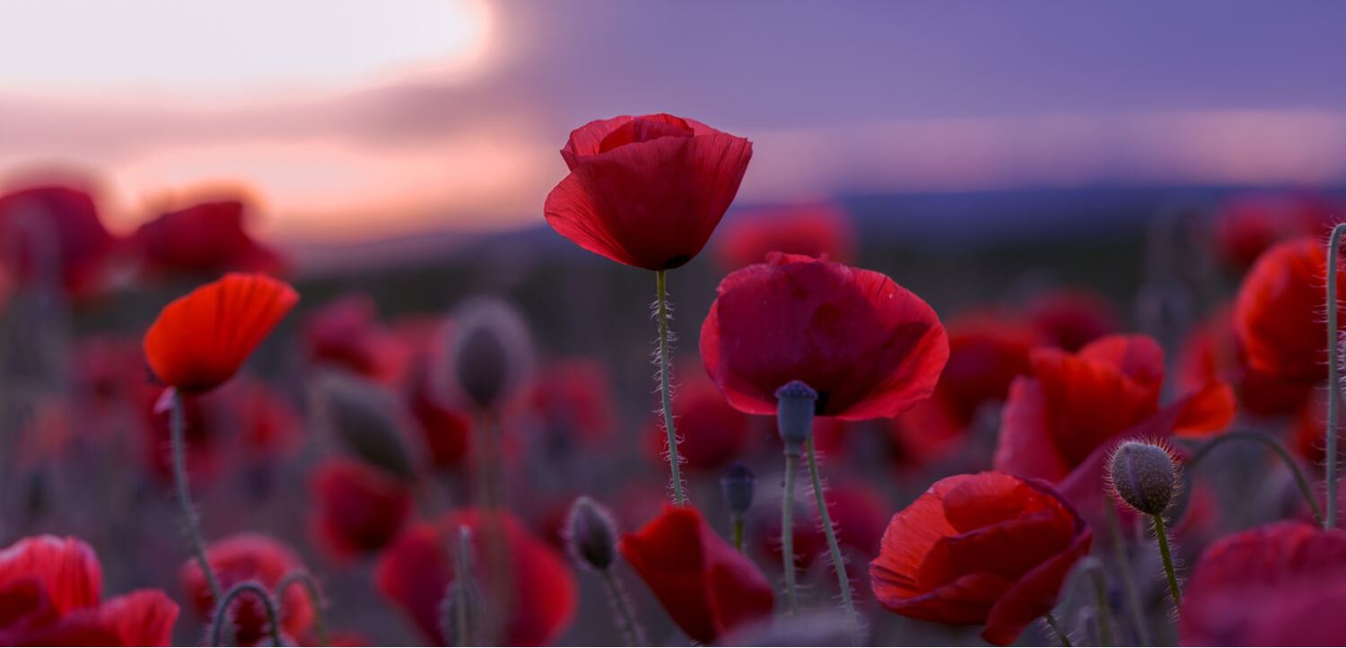 Red poppies in a field - the natural source of opium and the early days of drug tourism