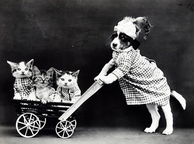 Puppy in clothes pushing kittens in a pram.
