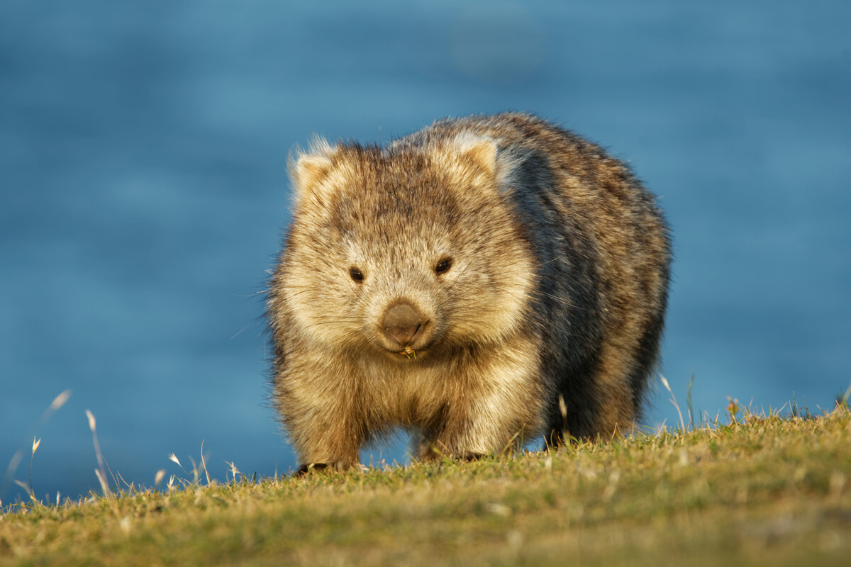Insanely cute wombat photographed in Tasmnia - an offbeat destination in Australia