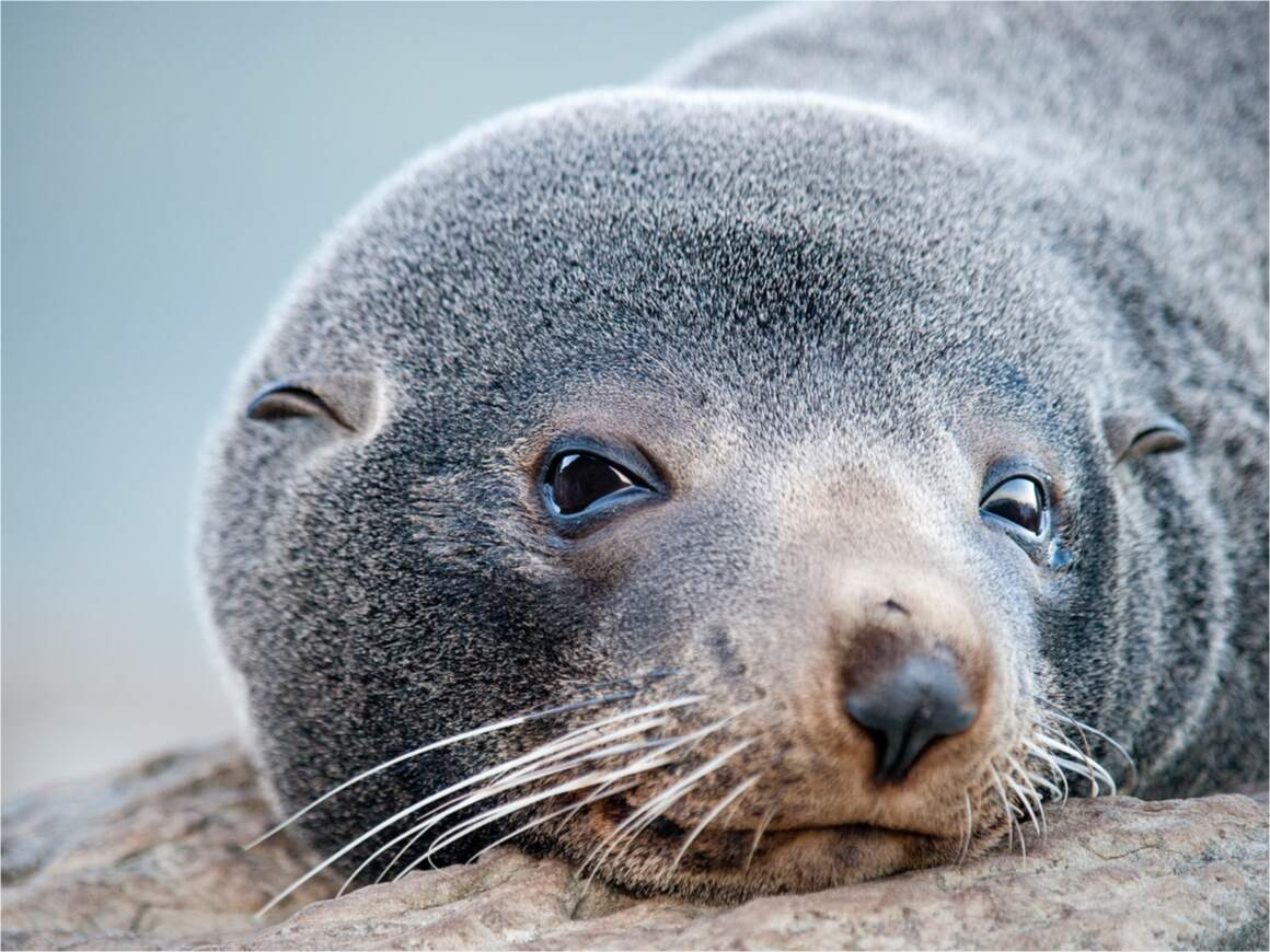 A fur seal looks at the camera. It is one of the marine animals found diving in New Zealand.