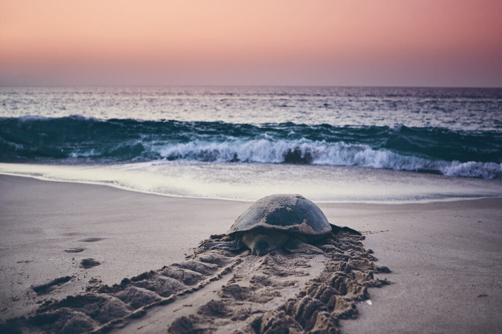 turtle entering the water in oman