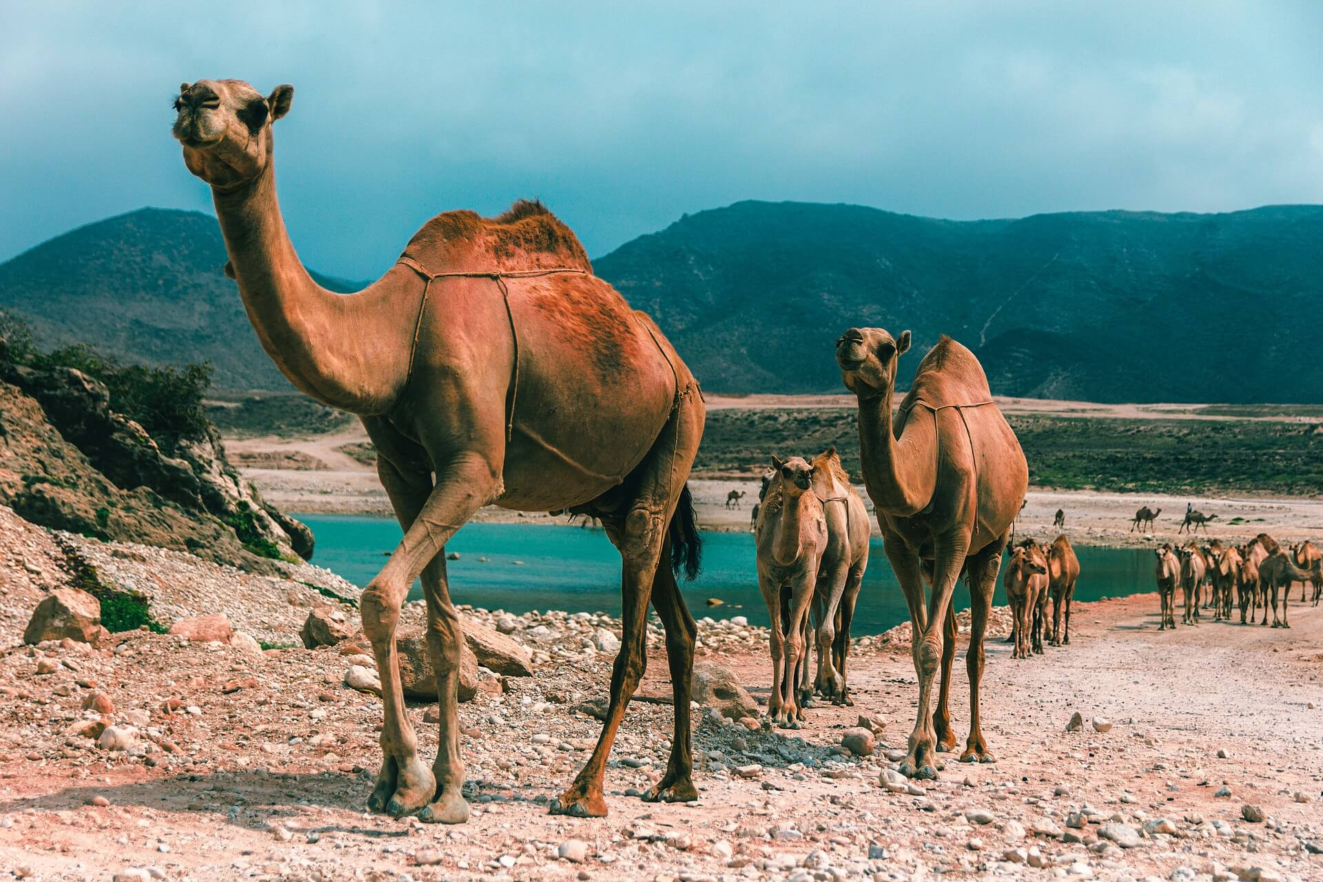 places to visit in oman camels marching from the ocean