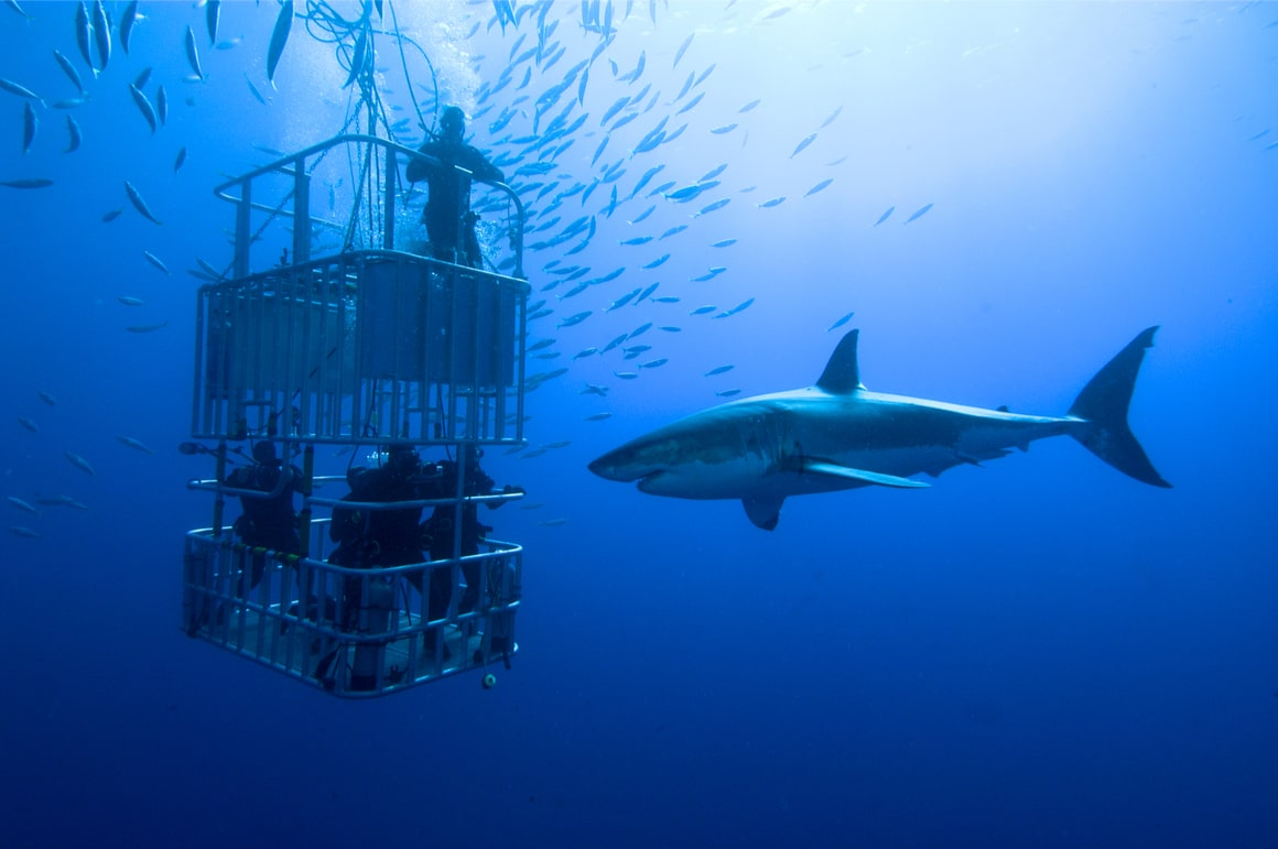 Divers in a cage watch a great white shark in New Zealand.