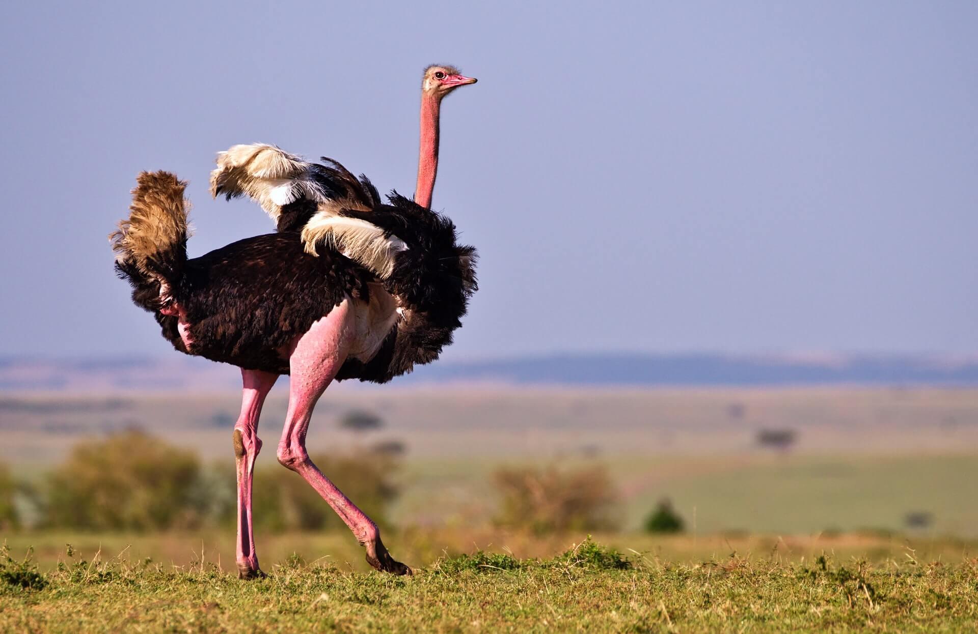 An ostrich on a grassy plain in Kenya