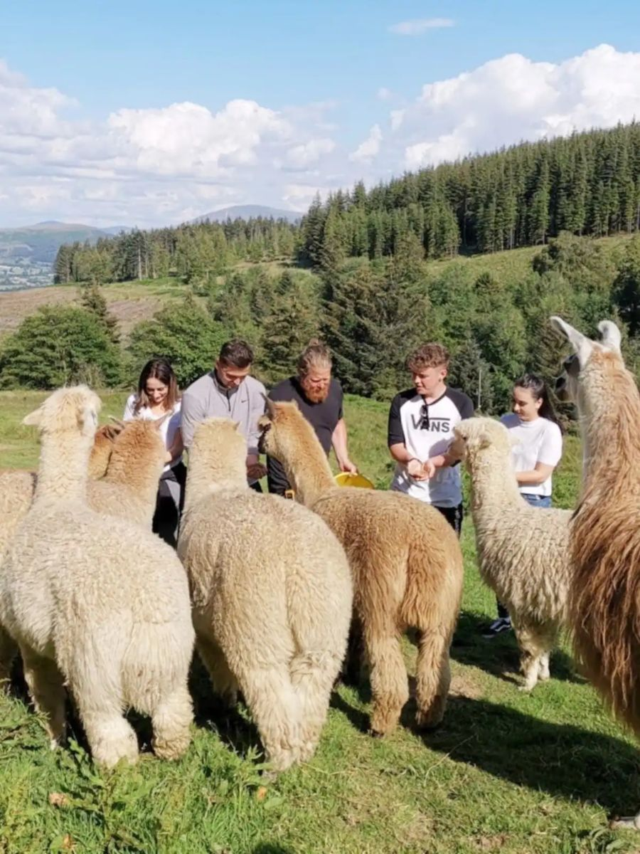 Get Up Close and Personal with Alpacas Lake District