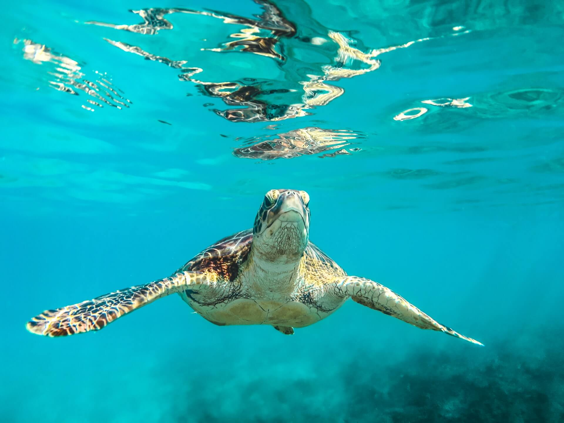 A photograph of a turtle taken by a diver living on a boat in the Caribbean.