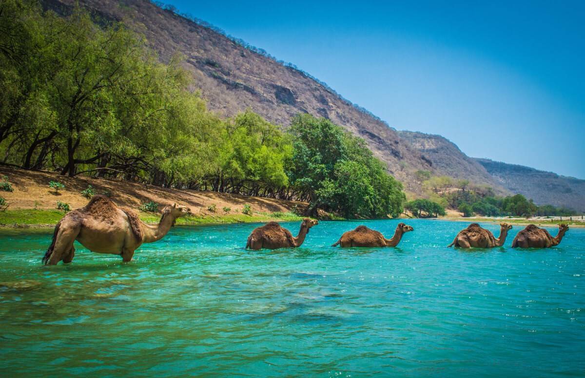 Camels in turquoise water in Morocco.