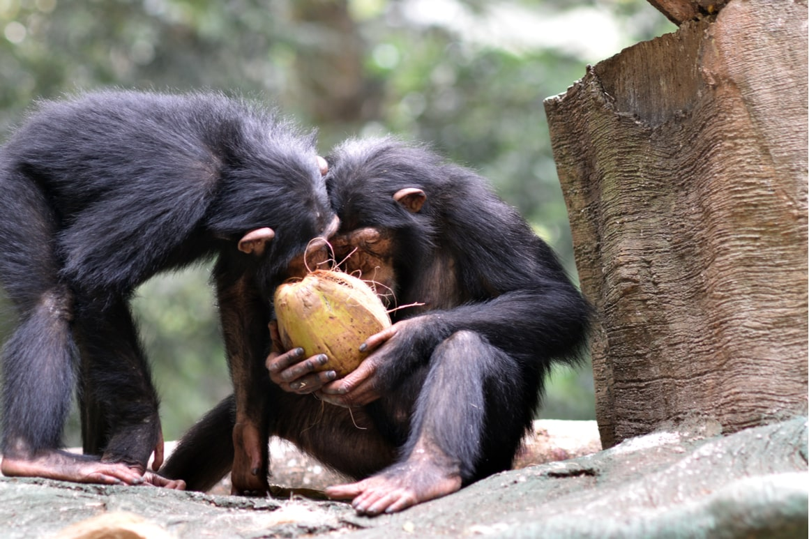 Two monkeys open a coconut with their hands.