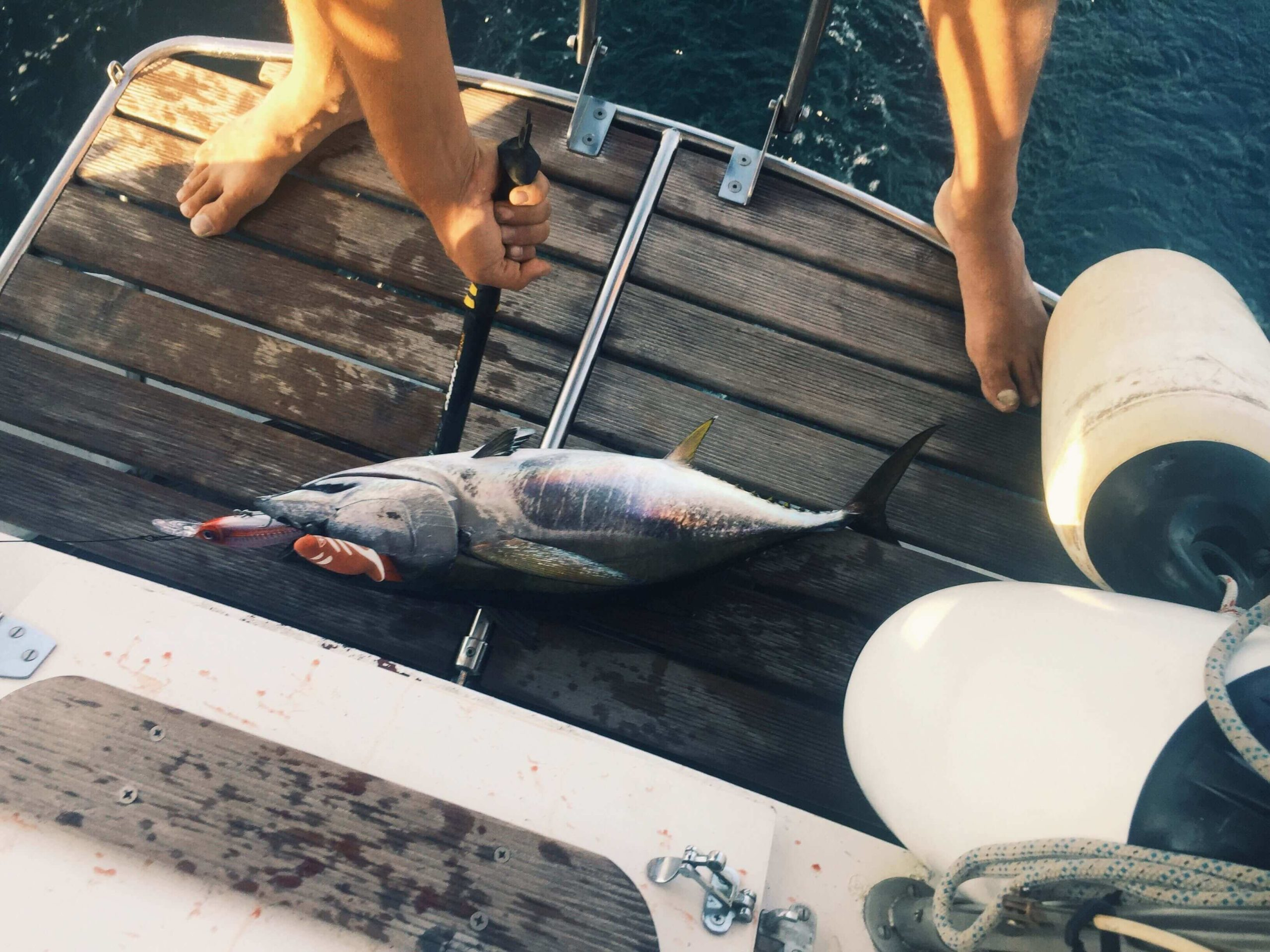 A tuna caught while sailing with a lure in its mouth and a spike in its brain so that it died quickly.