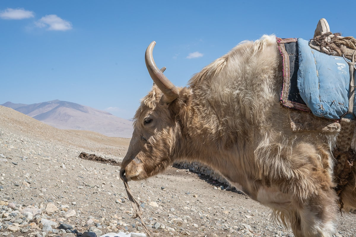 A yak looks at the camera from the mountains of Afghanistan.
