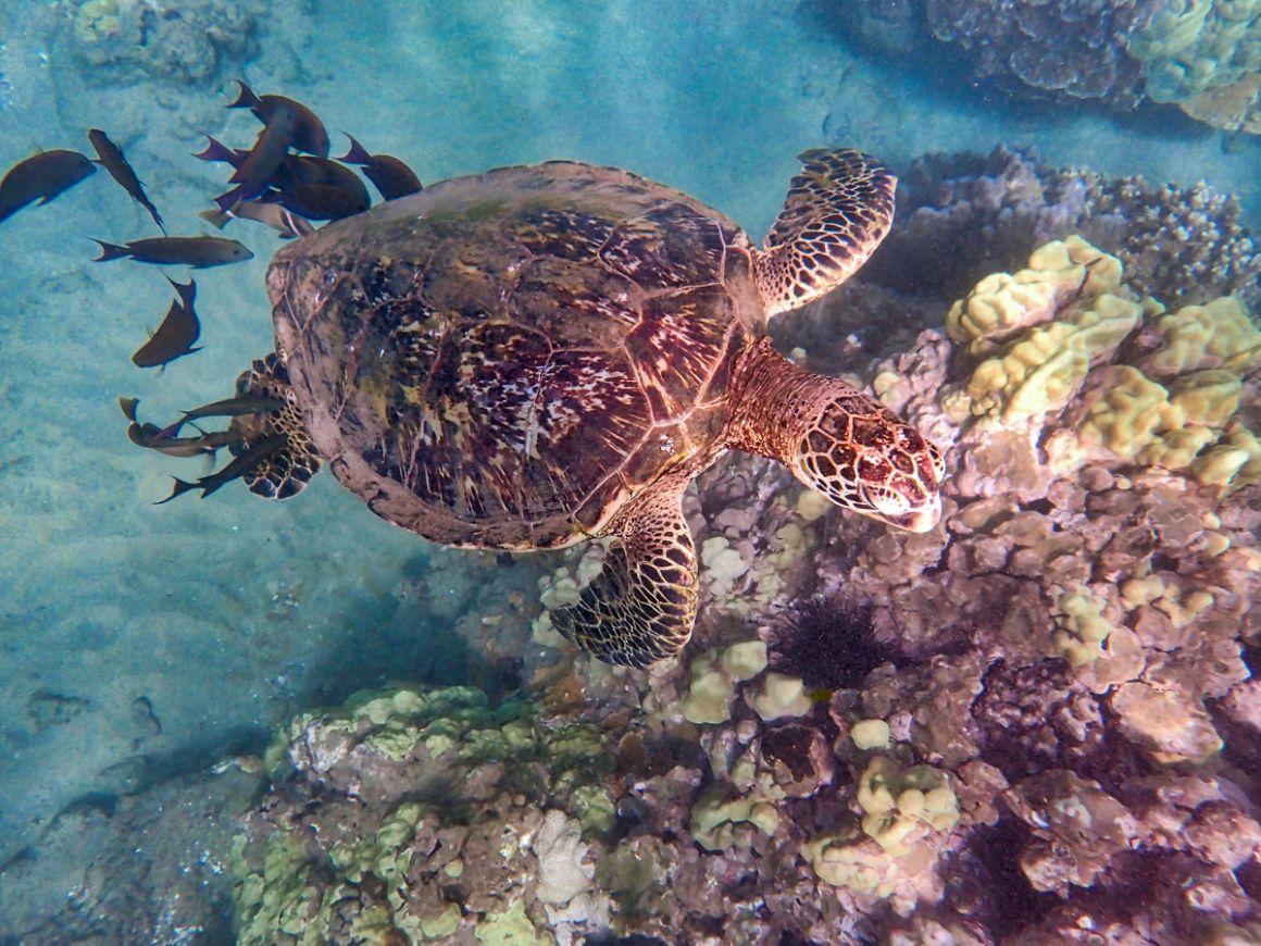 Hawaiian green sea turtle Kihei